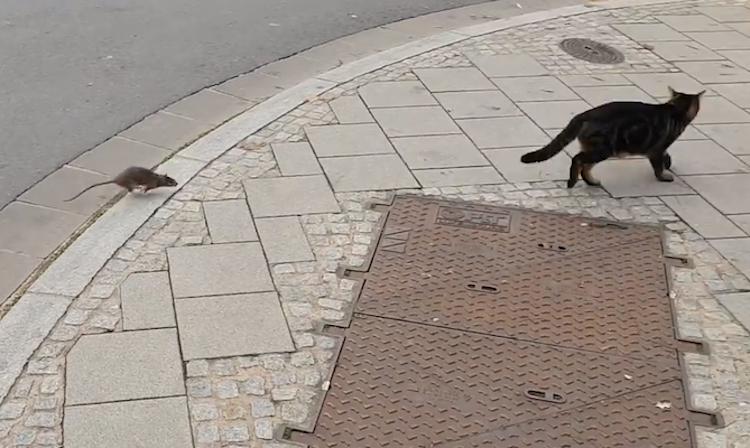 Rat Shows Cat Who S Boss Blog Fx101 9